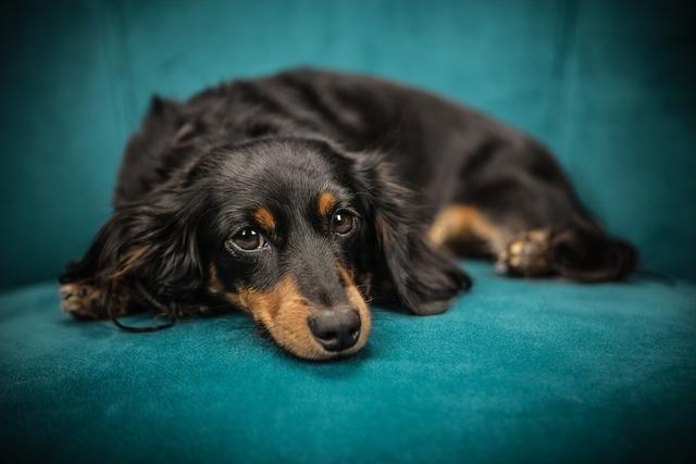 青いソファーと犬