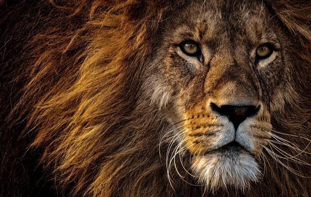 オスのライオン