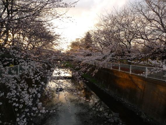 仙川と綺麗な桜