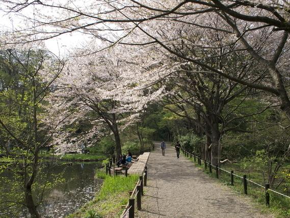 白金台駅近くの国立科学博物館付属自然教育園に咲く桜