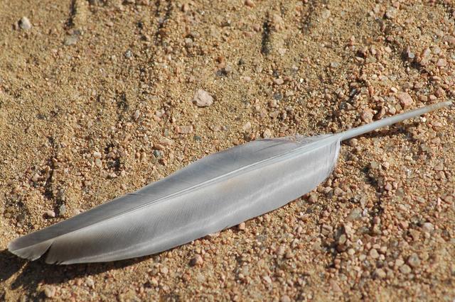 砂の上に落ちたグレーの羽画像