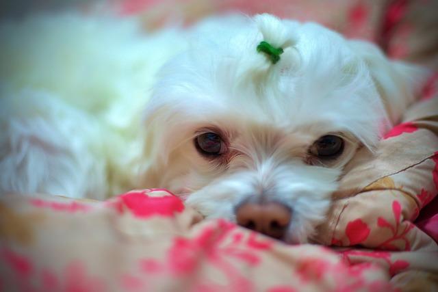 髪を結んだ犬