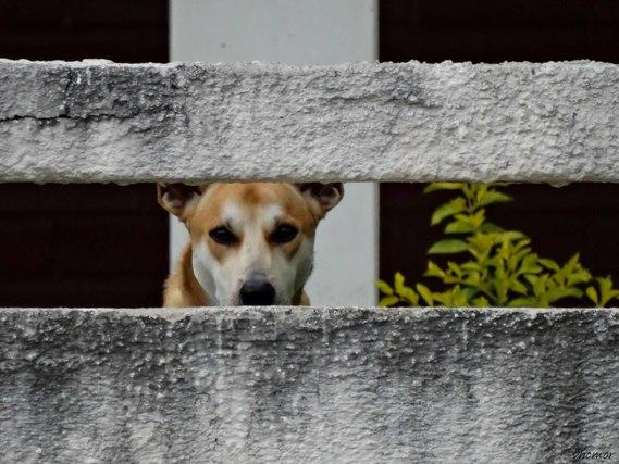 塀越しの犬