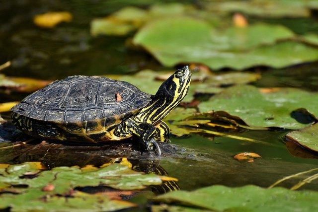 池にいる亀