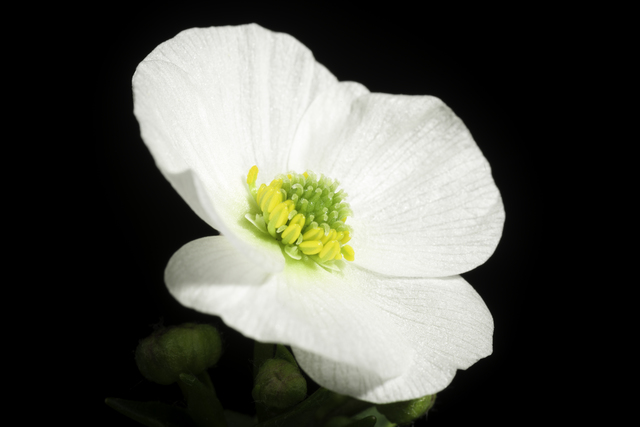 ラナンキュラスの花