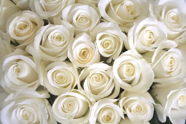 たくさんの白バラ