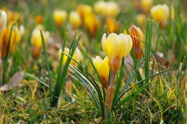 パステルイエローの花