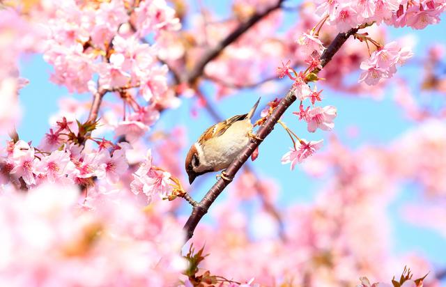 ウグイスと桜